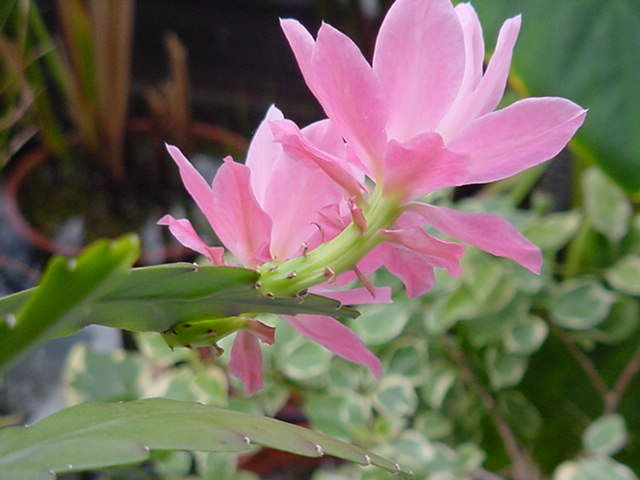 http://www.corsinet.com/garden/pics/flowers/orchidcactus-5.jpg