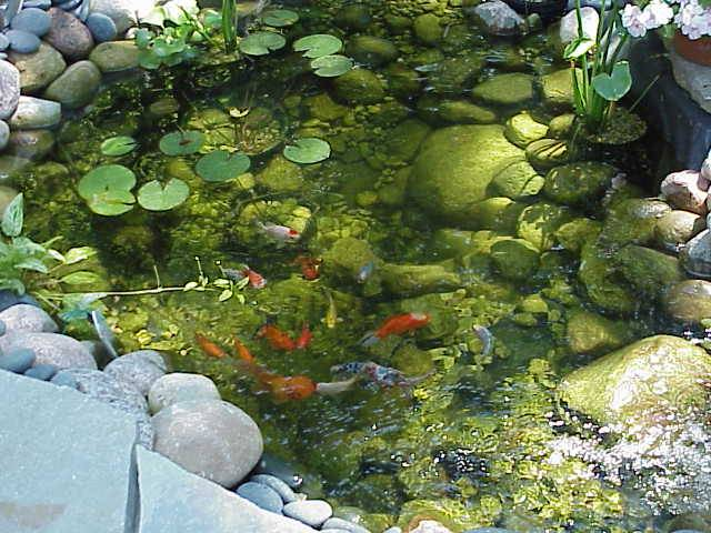 rebuilding a koi pond 2000 gardening in zone 5 illinois